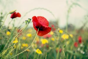 nature, Flowers, Bokeh, Depth, Of, Field, Red, Flowers, Poppies