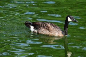 water, Nature, Birds, Animals, Ducks