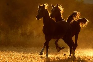 horses, Sunset, Sunrise, Sunlight, Landscapes, Fields, Rustic, Farm, Pasture