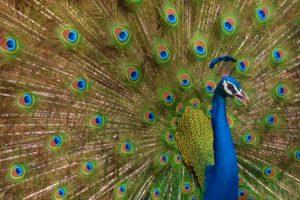 peacock, Bird, Colorful,  29