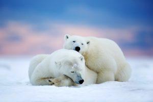 polar, Bears, Two, Sleeping, Snow, Sky, Winter, Animals, Bear