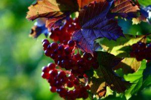 nature, Grapes