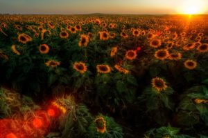 sunset, Sunrise, Landscapes, Nature, Flowers, Fields, Sunflowers