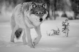 winter, Snow, Landscape, Nature, Wolf, Wolves