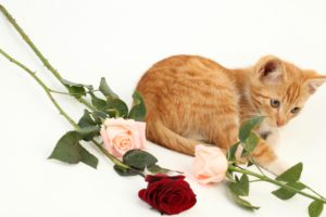 cats, Roses, Kitten, Ginger, Color, Animals
